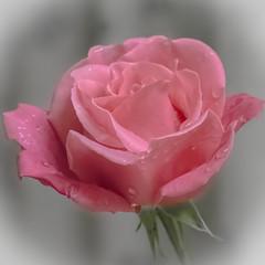 La Tendresse (Jack o' Lantern) Tags: roses rose ngc npc