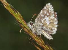 Butterfly - Grizzled Skipper (Prank F) Tags: macro nature closeup butterfly insect wildlife skipper grizzled wildlifetrust twywellhillsdales northantsuk