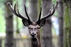 Handsome Fella. (pstone646) Tags: nature animal fauna kent stag wildlife watching deer antlers