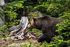 Grouse Mountain Grizzlies (Stephanie Sinclair) Tags: bear canada britishcolumbia grinder vancouverbc grousemountain grizzlybear june2016 stephaniesinclairphotography seattleempress