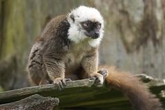 White- headed Brown Lemur (Annette Rumbelow) Tags: brown white beauty fur outdoors lemur wiltshire captive playful headed longleatsafaripark sonerset annetterumbelowwilson longleatgrounds