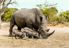 Rhino and the Wart Hogs (I. Oosterlinck) Tags: travel nature animal nikon wildlife rhino afrika senegal dieren dier d500 warthog reizen mamal neushoorn 2016 fathalareserve