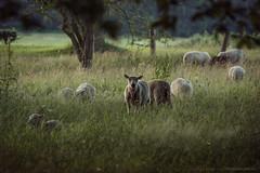 (CarolienCadoni..) Tags: sonyslta99 sal70200g2 sheep dof bokeh sundown sunset outdoor borger drenthe nederland netherlands light trees fence
