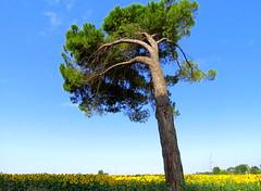 IMG_0006x (gzammarchi) Tags: italia natura explore campagna fiore albero pino girasole paesaggio ravenna lidodidante