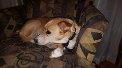 #1600008 - Lucy (beforetheyaremissing) Tags: brown white yellow female mix beige collie tan