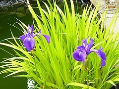Iris (Martha-Ann48) Tags: flowers blossoms blooms green petals leaves spears light contrast purple iris pond