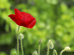 Red on green (Paco CT) Tags: red flower verde green spain rojo flor poppy simple esp amapola lerida 2015 pacoct