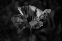 (John Donges) Tags: flowers blackandwhite night garden dark petals flora tulip 3626
