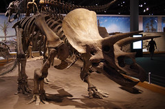 Truceratops - Head (juan_guthrie) Tags: drumheller alberta royaltyrrellmuseum dynosaur