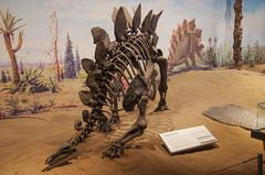 Stegosaurus (juan_guthrie) Tags: drumheller alberta royaltyrrellmuseum dynosaur