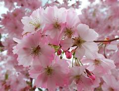 Zierkirschenblüten (Mariandl48) Tags: austria steiermark frühling blüten zierkirschenblüten zierkirschen wenigzell