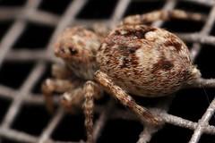 Sitticus Butt (HBBBT!) (Doundounba) Tags: macro spider montral pentax extreme qubec jumpingspider araigne k3 villeray salticidae poormansmacro pentaxa50mmf17 salticide pentaxm200mmf4 sitticusfasciger hbbbt coupledreverselens