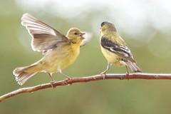 feeding goldfinch finch lessergoldfinch spinuspsaltria lindatanner goingslo itsinmynaturephotography