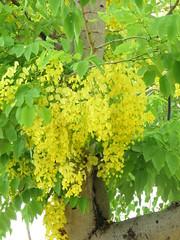 yellow flowers on the tree (oneroadlucky) Tags: plant flower tree nature yellow 花 自然 植物 黃色 阿勃勒