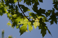 sun and shadow leaves (annburlingham) Tags: light sky green leaves maple branches winner backlit tcf unanimous thechallengefactory may2015