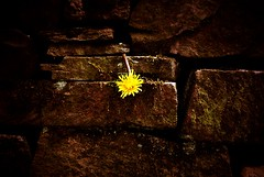 Filling the gaps ! (CJS*64) Tags: flower wall nikon retro reservoir dandelion cracks nikkor nikkorlens entwistlereservoir 18mm105mmlens d3100 nikond3100 craigsunter cjs64