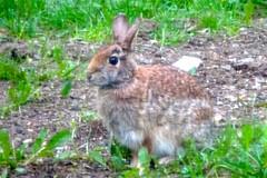 Back Yard Bunny (pecooper98362) Tags: morning newyork rabbit bunny spring vestal easterncottontail sylvilagusfloridanus despoilerofgardens