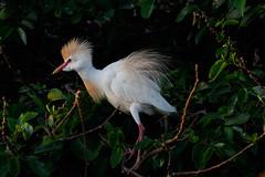 Ruffled Feathers-9821 (Don Burkett) Tags: nature birds animal fauna canon florida outdoor wildlife southflorida dlsr wakodahatcheewetlands donburkett canon7dmkii 100400mii ef100400f4556liiusm dtburkett
