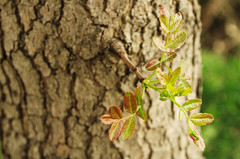 Branch (Mucahit Cetin) Tags: plant tree nature closeup leaf spring branch bokeh treetrunk closeupphotography bole