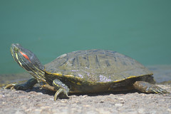 DSC_7762 (EButterfield Photography) Tags: turtle reptile turtles amphibians reptiles