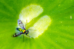 Blur (mon_ster67) Tags: plant blur macro green closeup canon garden fly leaf backyard colorful colours lotus fast tiny mon longleggedfly canoneos manualfocus t3i macrophotography extensiontube flyinginsect clors macroworld efs1855mmf3556isii canoneosrebel3ti mon