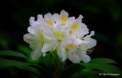 Rhododendron (Rollingstone1) Tags: plant flower nature blossom rhododendron shrub fantasticflower