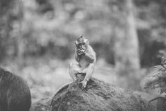 Macaque (Ashly Rose) Tags: travel bali nature photoshop canon temple monkey spring dof 85mm adventure holy cc sacred sanctuary ubud f12 macaque balinese shallowdof monkeyforest narrowdof macbook longtailedmonkey 85mmf12lii canon85mmf12lii canon5dmkii 5dmarkii photoshopcc