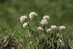 Val d'Aosta - Val d'Ayas, fioriture primaverili: allium (mariagraziaschiapparelli) Tags: primavera fiori valdaosta escursionismo camminata valdayas estoul fioridimontagna allegrisinasceosidiventa