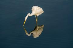 Reflection of a Great Egret (malc1702) Tags: greategret egret nature water wildlife outdoors birds birdinwater largebirds migratorybirds grace reflection nikond7100 tamron150600 flickrunitedaward fantasticnature