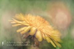 Golden (Sylvia Slavin ARPS (woodelf)) Tags: light sunlight flower yellow lensbaby golden weed sweet bokeh lawn dandelion 35