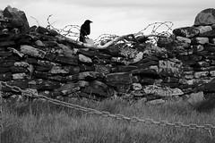 Crow Guardian (gavinkenyon564) Tags: bird nature stone wall landscape wire nikon guard feather chain barbedwire crow defend nikon1 monochtome