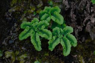 Adiantum aleuticum var. subpumilum (dwarf maiden-hair fern)