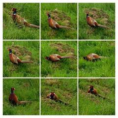 Well hello handsome! (watergypsyrach) Tags: malepheasant monsaltrail bakewell derbyshire ukwildlife nature nikoncoolpixs7000 bright beautiful colourful