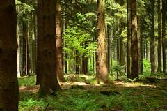 DSC_1706 Frhling im Wald - Spring in the forest (baerli08ww) Tags: green forest germany deutschland spring natur grn wald frhling morningsun rheinlandpfalz morgensonne westerwald springcolors rhinelandpalatinate frhlingsfarben westerforest