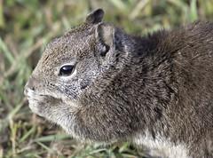 Eating Squirrel (dcnelson1898) Tags: california northerncalifornia outdoors photography coast nikon highway1 pacificocean fortbragg mackerricherstatepark mendocinocounty