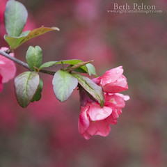 Flowering Quince (eightcattailsimagery) Tags: quince may newhampshire newengland pink