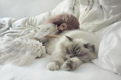 Sweet Dreams (Calfuraay) Tags: sleeping cat cozy oscar eyes woods doll oliver skin sleep moth tan ollie sd cuddle suntan bjd peaks 13 16mm mariposa rosalie foc peakswoods rosemii