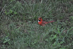 DSC_0038 (Gary Storts) Tags: cardinal gynandromorph gynadromorph orninthology birdwatching birds cardinalis northerncardinal cardinaliscardinalis