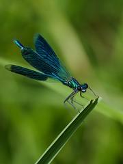 DSCF7668 (faki_) Tags: insect fuji dragonfly fujifilm rovar xe1 szitakt 50230 fujinonxc50230mmf4567ois