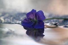 Rflexion Bleue (! Nature Bx !) Tags: blue france flower macro nature water fleur eau johnsons vivace granium rflexion img1084