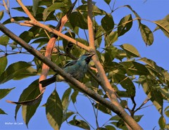 Blue Dacnis (Dacnis cayana) Sa-azul (Canuck 07) Tags: dacniscayana bluedacnis saazul