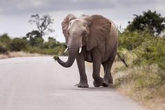 Relaxed Ellie (Sheldrickfalls) Tags: elephant southafrica krugernationalpark mpumalanga krugerpark kruger olifant lowersabie lowersabiecamp loxodantaafricana