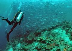 Schooling Jacks (gillybooze) Tags: fish water coral underwater scuba malaysia diver jacks sipadan shoal fisheyelens schooling allrightsreserved madaleunderwaterimages