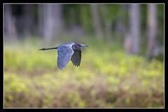 Little Blue in Flight... (DTT67) Tags: bird heron nature canon wildlife flight maryland blueheron nationalgeographic bif littleblueheron northpointstatepark 500mmii 1dxmkii