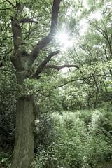 Morning sunlight in the green woods (Keartona) Tags: englishoak oaktree oak tree green summer june sun sunlight greenery peaceful morning derbyshire natural nature quercusrobur woods woodland