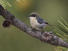 Little Pygmy (Hockey.Lover) Tags: birds explore sierravalley pygmynuthatch sierravalley2016