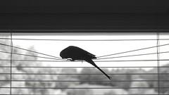 (sigrun_e) Tags: white black bird window monochrome canon eos fenster budgie vogel wellensittich 700d sigrune