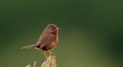 Dartford Warbler ( Sylvia undata ) Male (Dale Ayres) Tags: