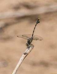 PGC_8388-20151020 (C&P_Pics) Tags: southafrica dragonfly za kwazulunatal pgc mkuze insectsandspiders nsumopan stluciapark southafrica2015