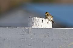 Savannah Sparrow (brucegates) Tags: ontario birds canon sudbury f56 400mm savannahsparrow